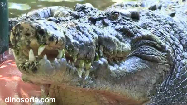 Cassius. Crocodile marin