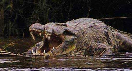 Gustave le crocodile geant
