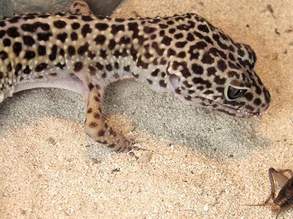 alimentation du gecko