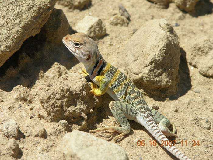 Lezard a collier. Crotaphytus collaris