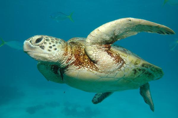 Tortue de mer dans actualité sur animaux tortue-mer-5000