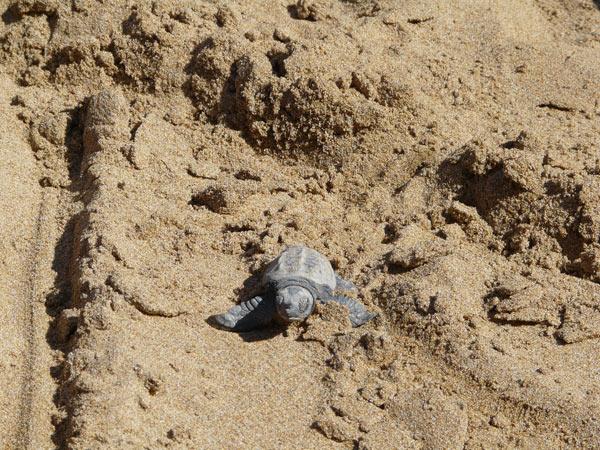 Bébé tortue de mer
