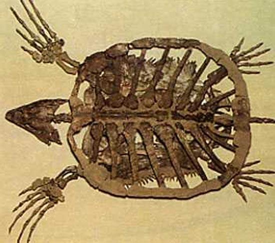 Une nouvelle espèce de tortue fossile découverte