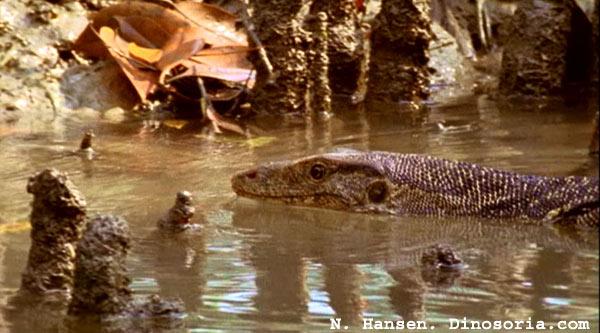 Varan malais qui nage