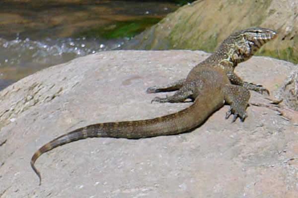 Le dragon de komodo est venimeux?!! Varan-desert