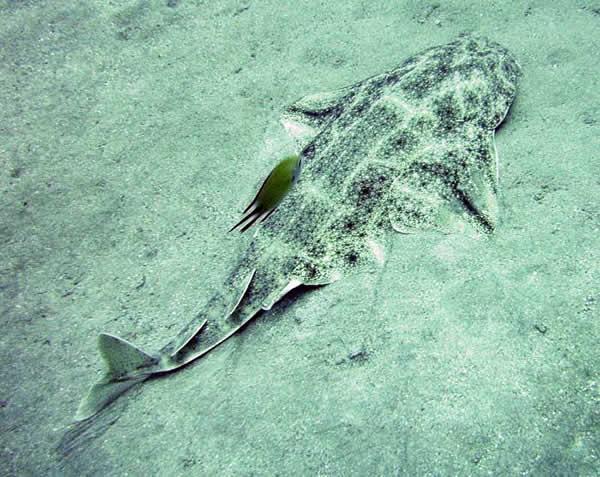 http://www.dinosoria.com/requins/ange-mer-2.jpg