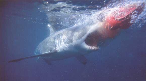 Anatomie du requin en images dinosoria - Dessin de grand requin blanc ...