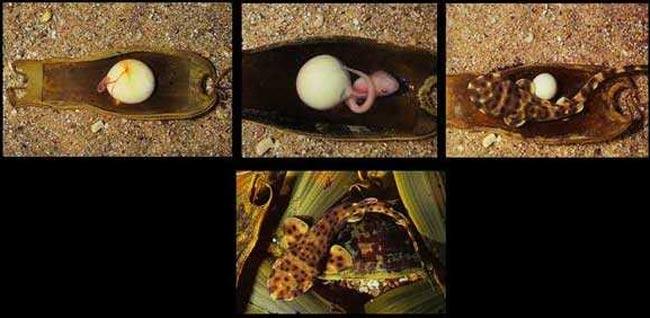 Phases de développement d'une holbiche ventrue