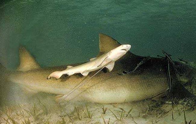 Un jeune requin-citron