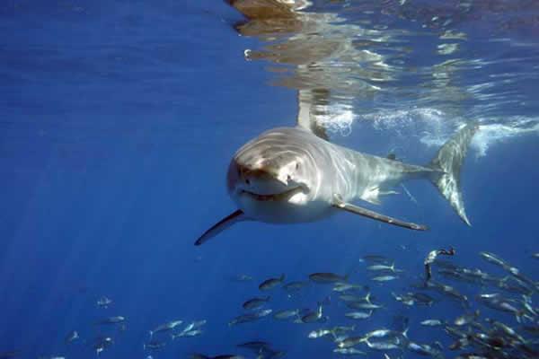 Requin blanc technique de chasse dinosoria - Dessin de grand requin blanc ...