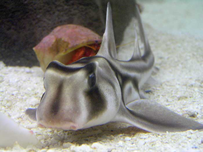 Requin Dormeur Taureau Port Jackson Photos Video Dinosoria