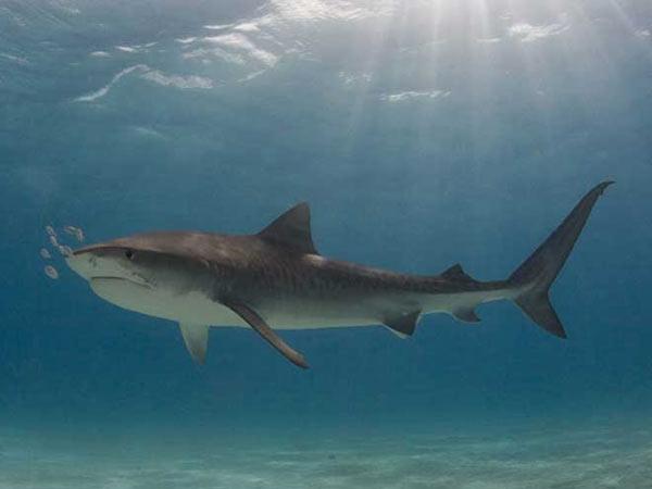 Requin tigre en images video dinosoria - Photo de requin tigre a imprimer ...