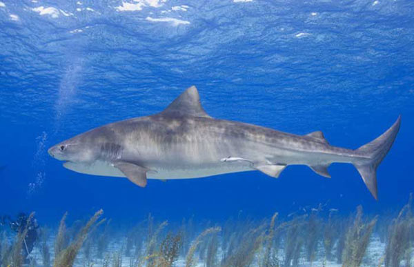 Тигровая акула длина до 6 метров вес