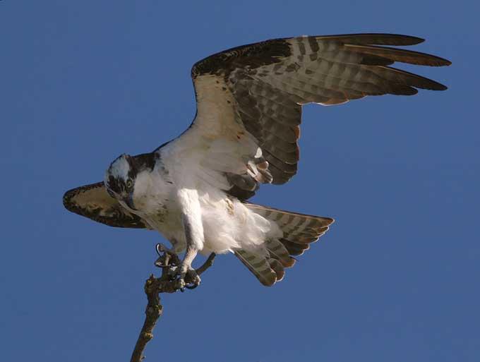 les faucons Balbuzard