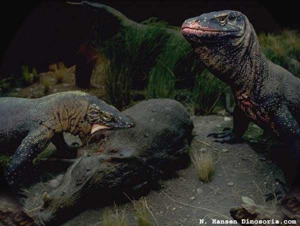Dragons de Komodo en plein repas. © dinosoria.com . Licence