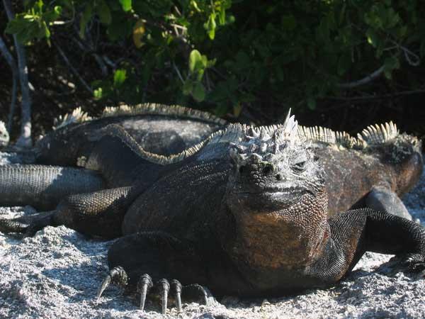 l'animal de Martin du 5 janvier trouvé par Martine Iguane_galapagos