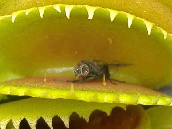 Insecte piégé dans une plante carnivore