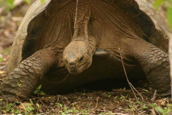 Tortue geante des Galapagos