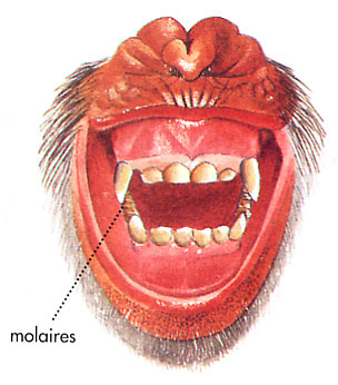 Dentition d'un chimpanzé