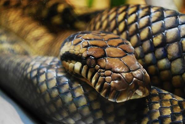 La population de serpents décline rapidement à l'échelle mondiale