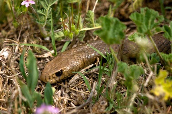 Serpent brun