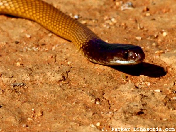 Serpent brun. Pseudonaja