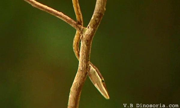 Serpent liane brun
