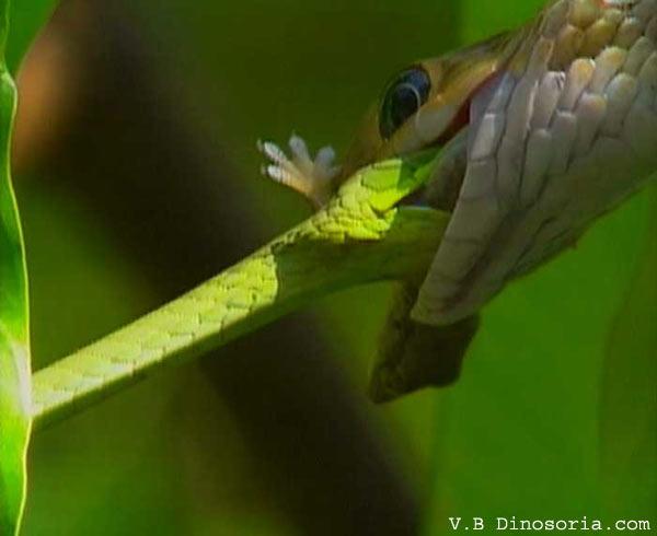 Serpent liane et couleuvre