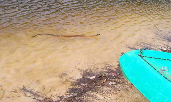Serpent tigre qui nage