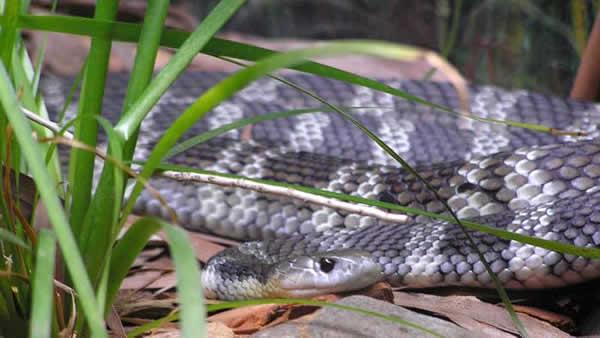 Tiger snake. Notechis