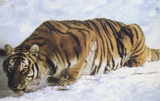 Déclin des tigres de Sibérie