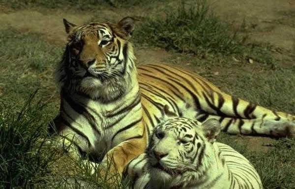 """L'image """"http://www.dinosoria.com/tiger/tigre_ld2.jpg"""" ne peut être affichée car elle contient des erreurs."""