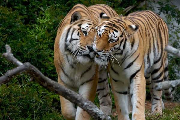 Couple tigre de Siberie