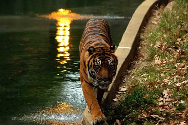 Tigre de Sumatra*