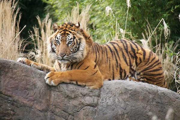 ]~~نــمـ،،ـر سـومـ،،ـطرة~~]~~ tigre_sumatra_07.jpg