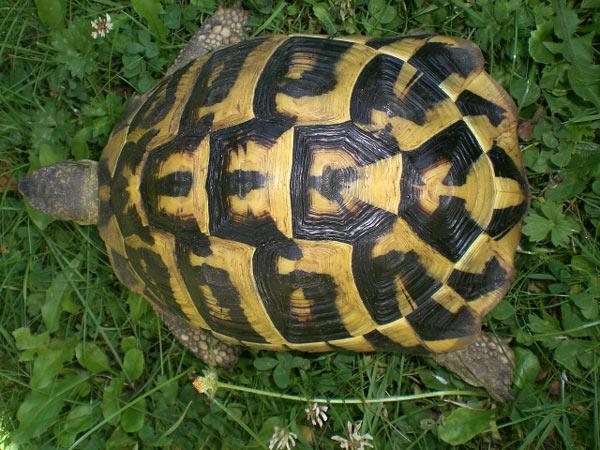 Tortue d 39 hermann en images dinosoria - Images tortue ...