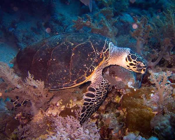 tortue semi aquatique race